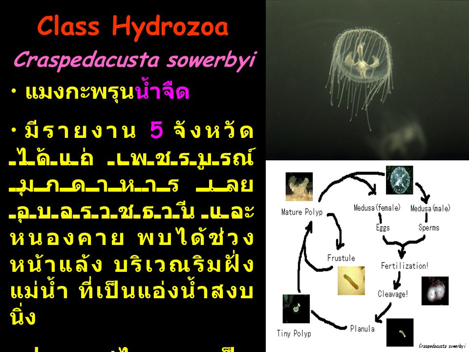 Class Hydrozoa Craspedacusta sowerbyi
