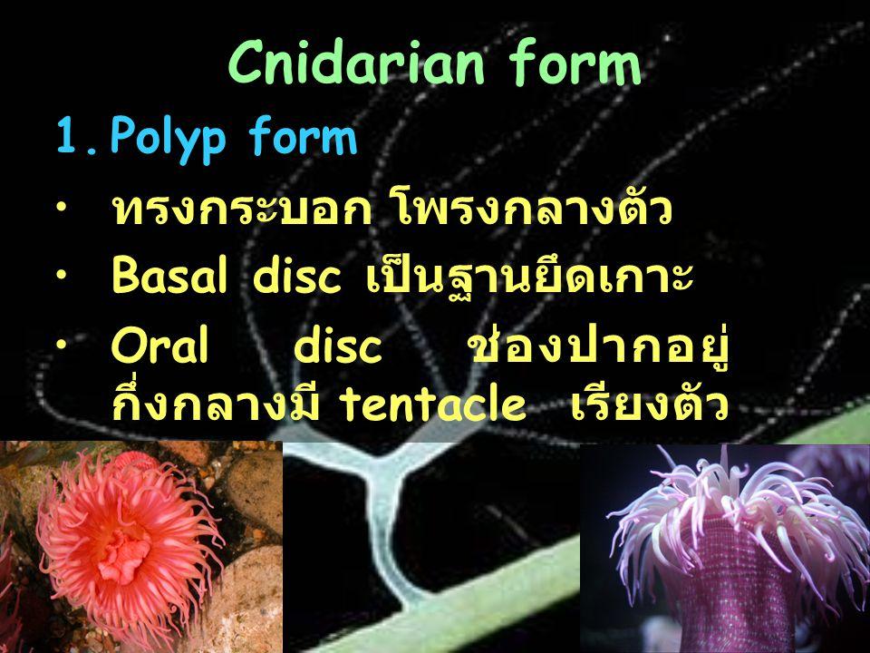 Cnidarian form Polyp form ทรงกระบอก โพรงกลางตัว