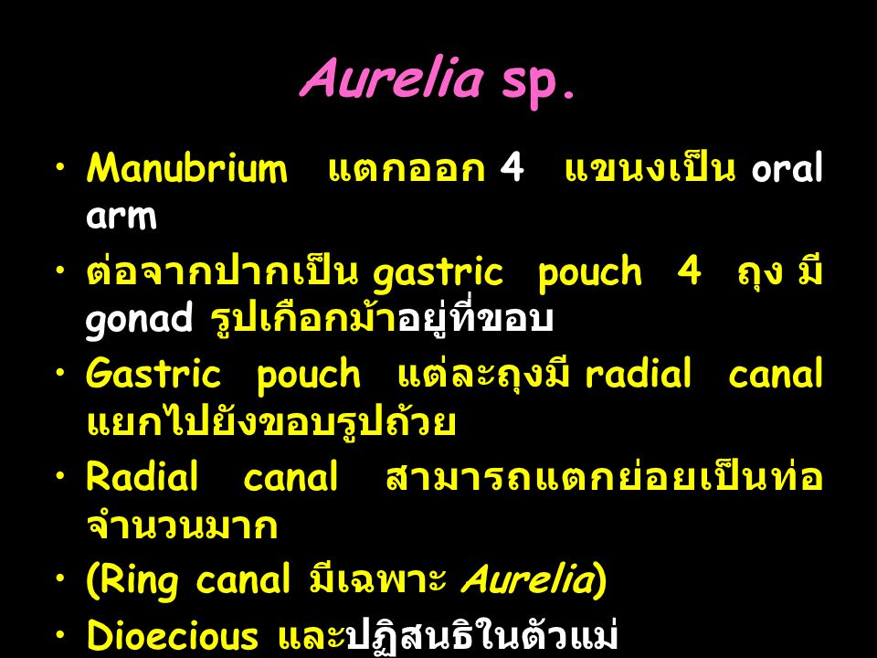 Aurelia sp. Manubrium แตกออก 4 แขนงเป็น oral arm