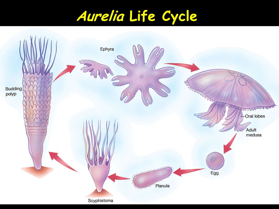 Aurelia Life Cycle