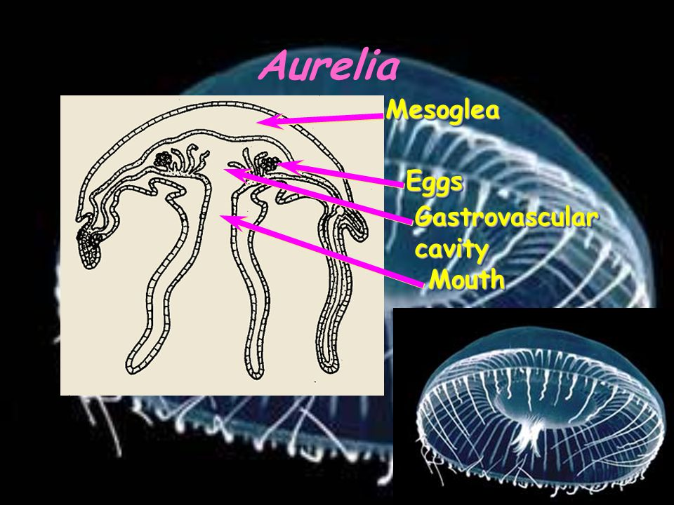 Aurelia Mesoglea Eggs Gastrovascular cavity Mouth