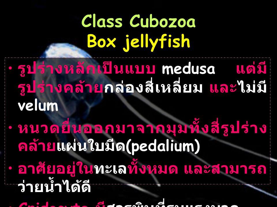 Class Cubozoa Box jellyfish