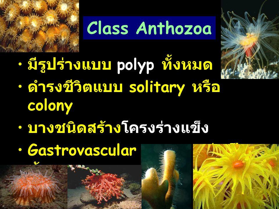Class Anthozoa มีรูปร่างแบบ polyp ทั้งหมด