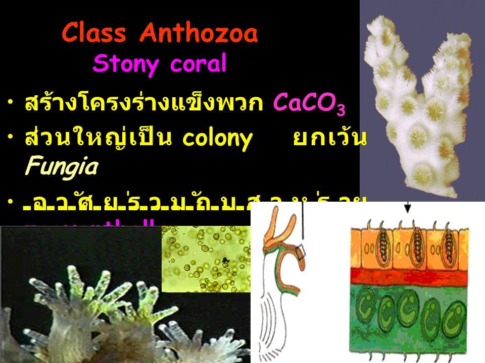 Class Anthozoa Stony coral
