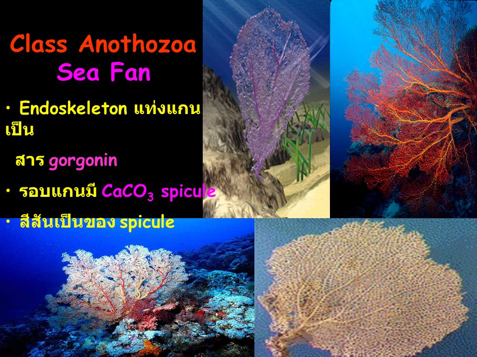 Class Anothozoa Sea Fan