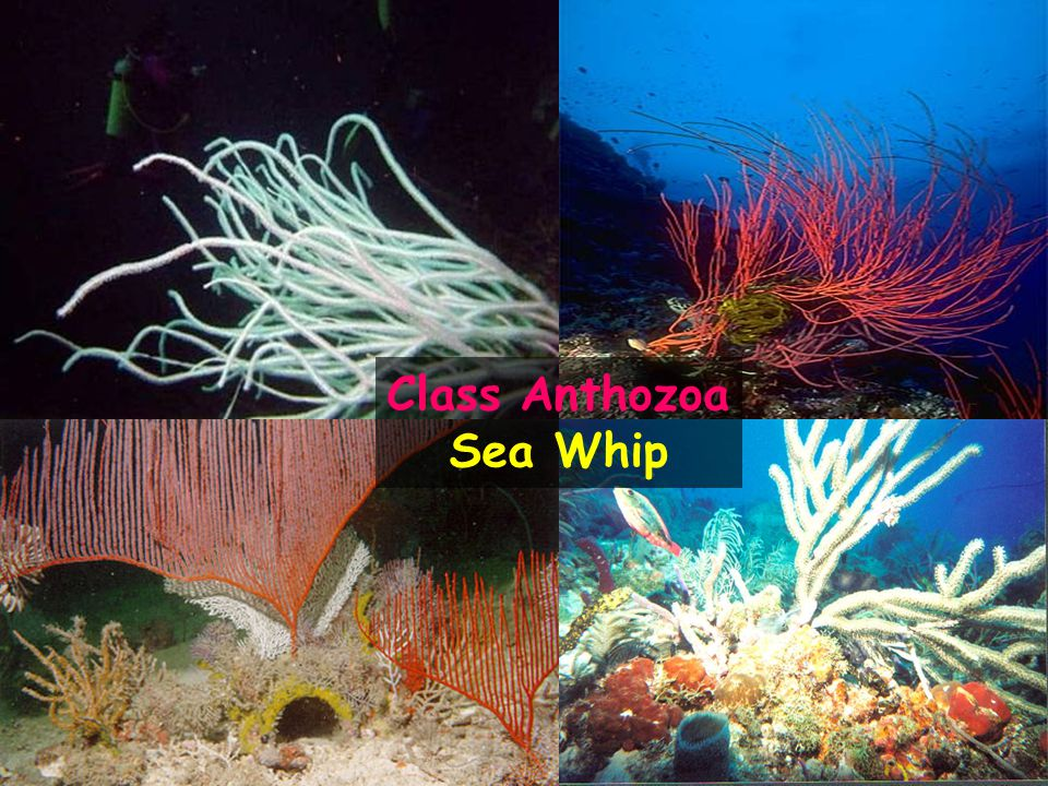 Class Anthozoa Sea Whip