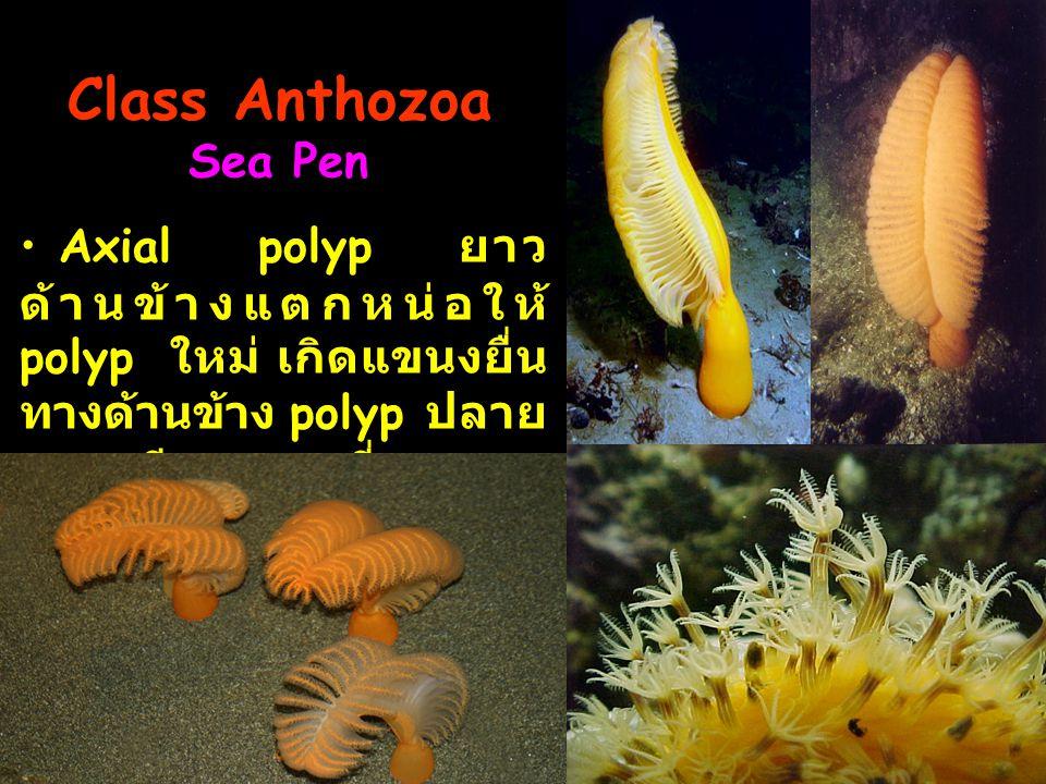Class Anthozoa Sea Pen Axial polyp ยาว ด้านข้างแตกหน่อให้ polyp ใหม่ เกิดแขนงยื่นทางด้านข้าง polyp ปลายแขนงมีอายุมากที่สุด.