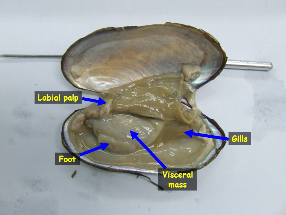 Labial palp Gills Foot Visceral mass