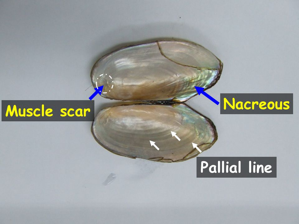Nacreous Muscle scar Pallial line