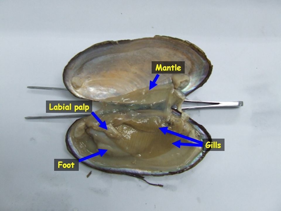 Mantle Labial palp Gills Foot