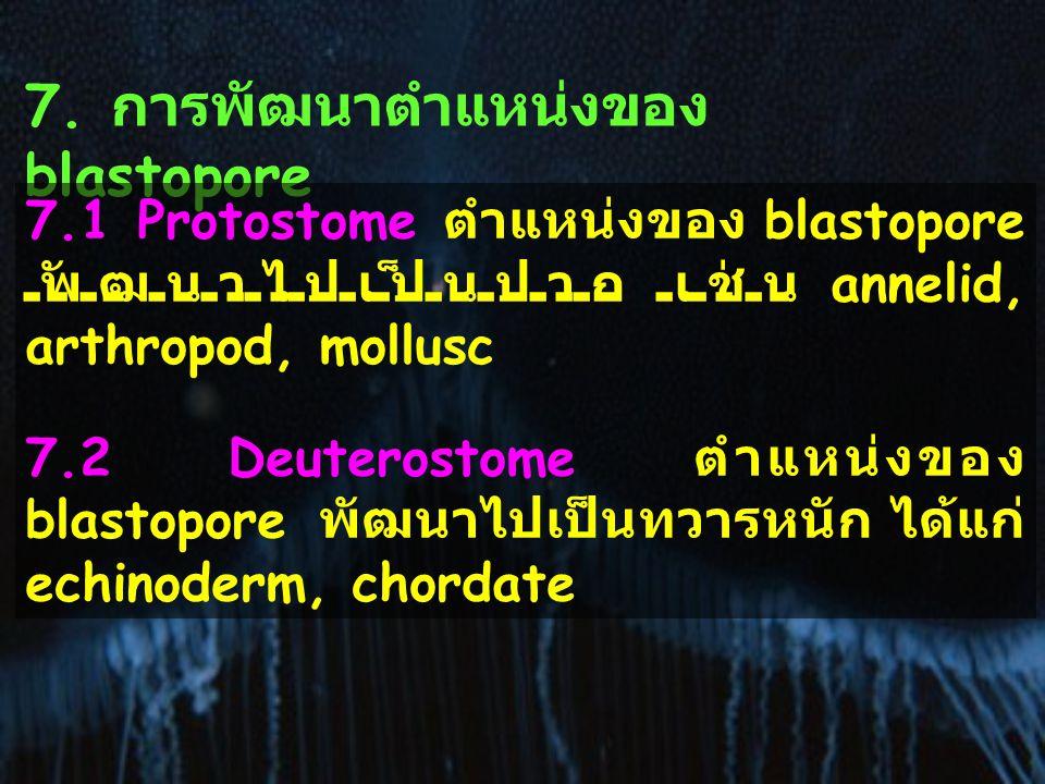 7. การพัฒนาตำแหน่งของ blastopore