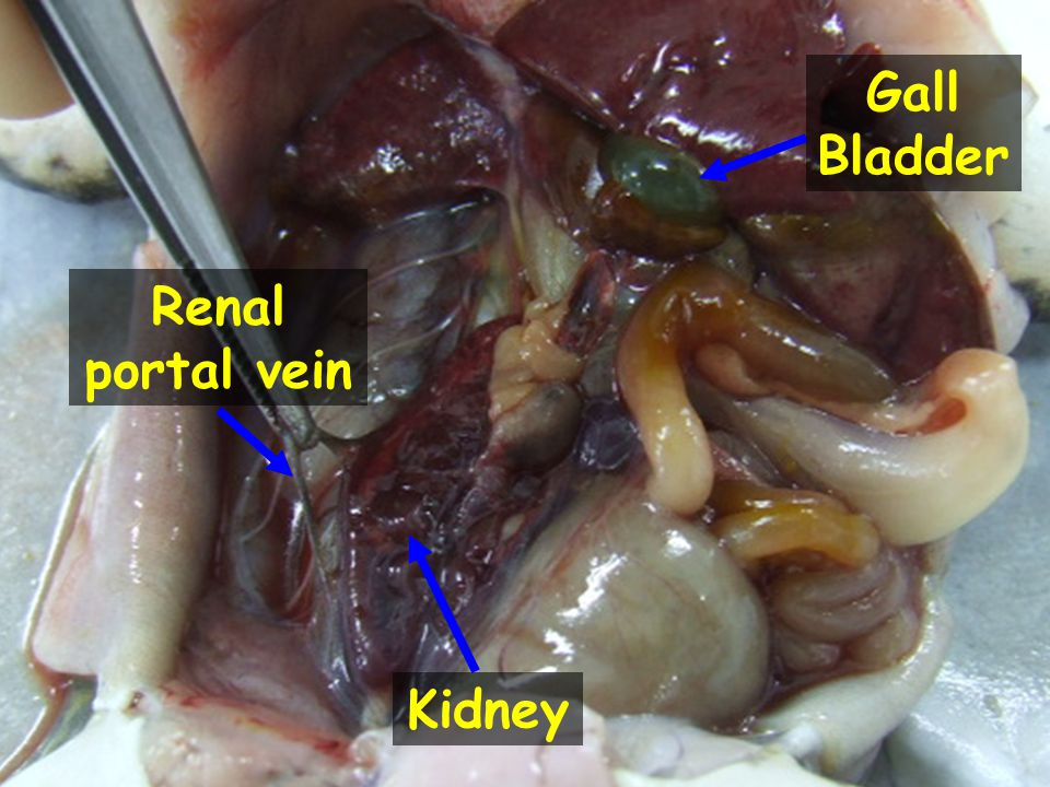 Gall Bladder Renal portal vein Kidney
