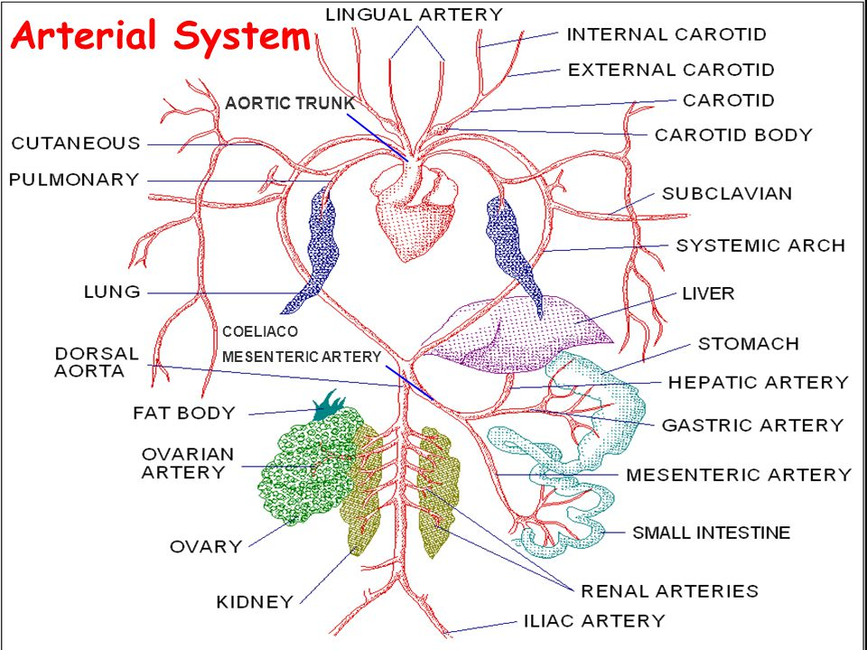 Arterial System AORTIC TRUNK COELIACO MESENTERIC ARTERY