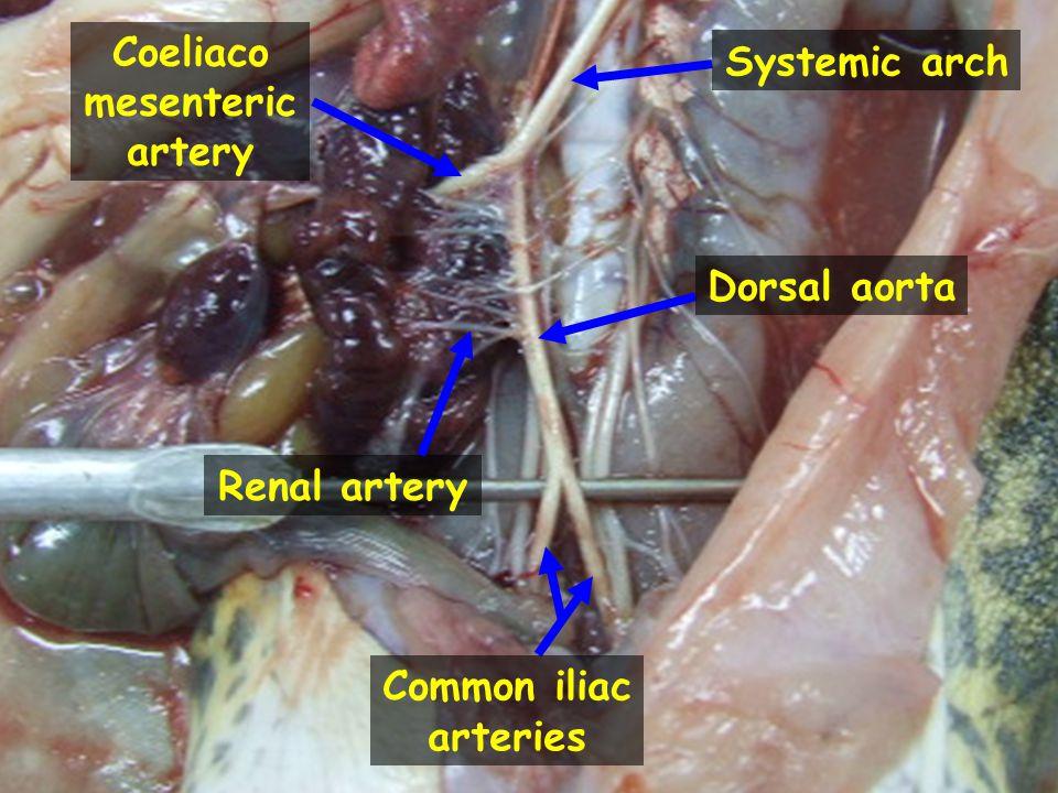 Coeliaco mesenteric artery