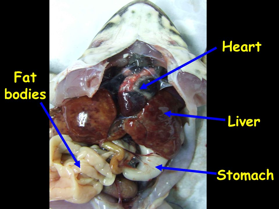 Heart Fat bodies Liver Stomach