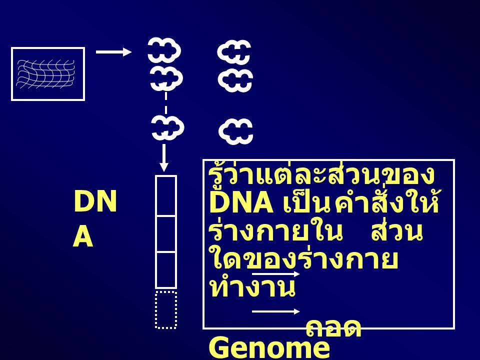 รู้ว่าแต่ละส่วนของ DNA เป็น คำสั่งให้ร่างกายใน ส่วนใดของร่างกายทำงาน