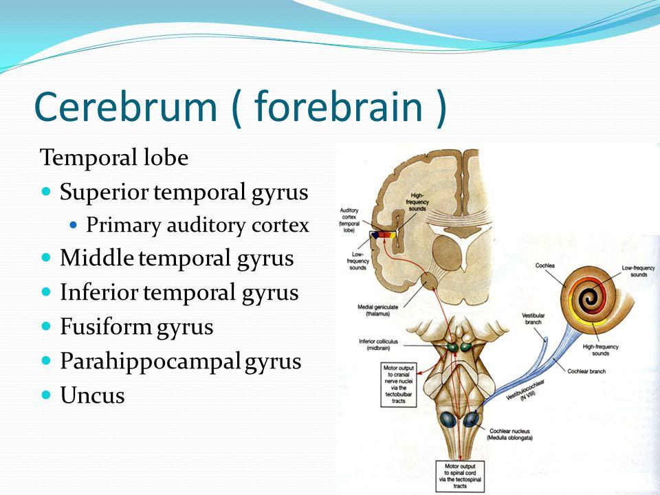 Cerebrum ( forebrain ) Temporal lobe Superior temporal gyrus