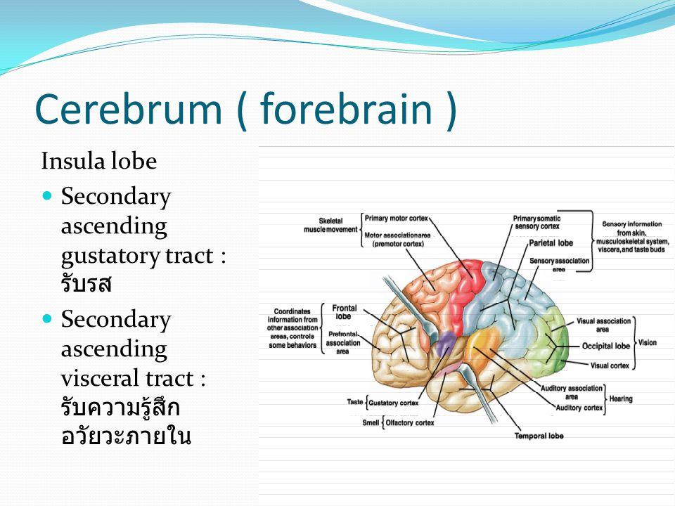 Cerebrum ( forebrain ) Insula lobe