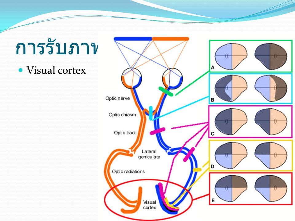 การรับภาพ Visual cortex
