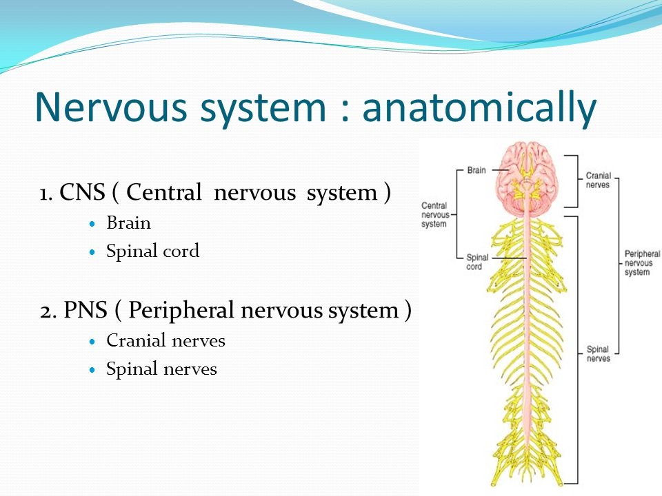 Nervous system : anatomically