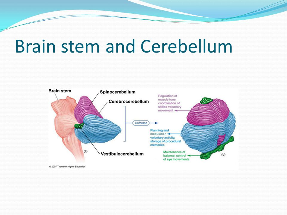 Brain stem and Cerebellum
