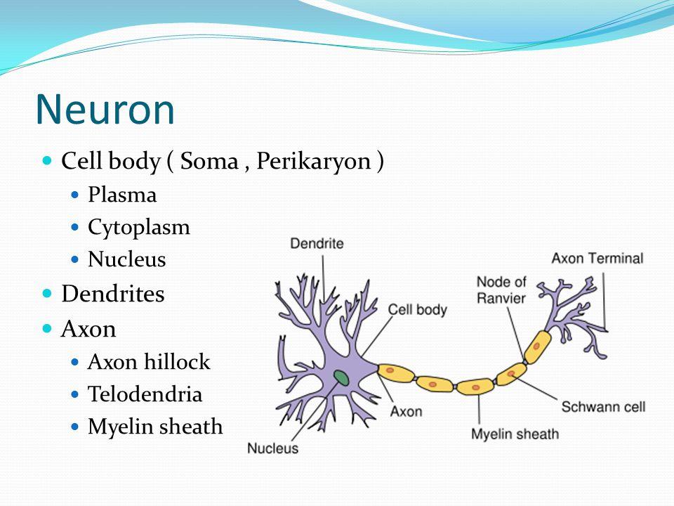 Neuron Cell body ( Soma , Perikaryon ) Dendrites Axon Plasma Cytoplasm