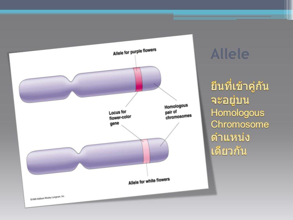 Allele ยีนที่เข้าคู่กัน จะอยู่บน Homologous Chromosome ตำแหน่ง เดียวกัน