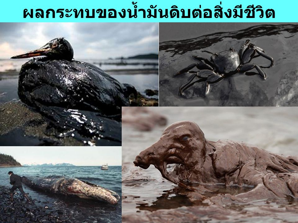 ผลกระทบของน้ำมันดิบต่อสิ่งมีชีวิต