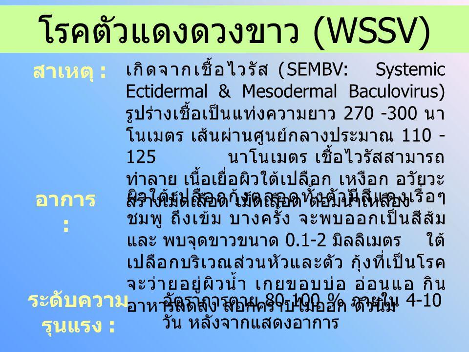 โรคตัวแดงดวงขาว (WSSV)