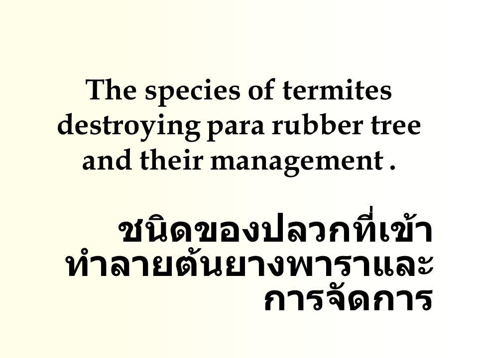 ชนิดของปลวกที่เข้าทำลายต้นยางพาราและการจัดการ