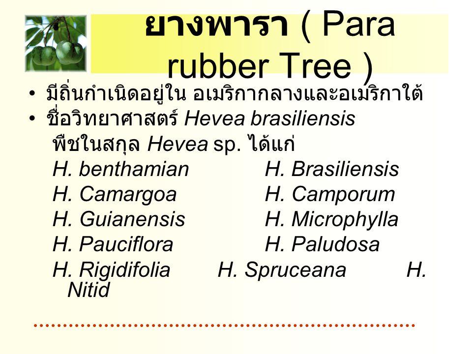 ยางพารา ( Para rubber Tree )