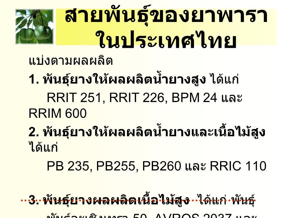 สายพันธุ์ของยาพาราในประเทศไทย