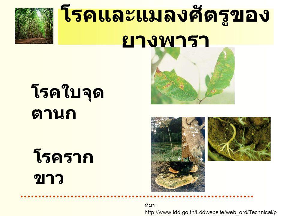 โรคและแมลงศัตรูของยางพารา