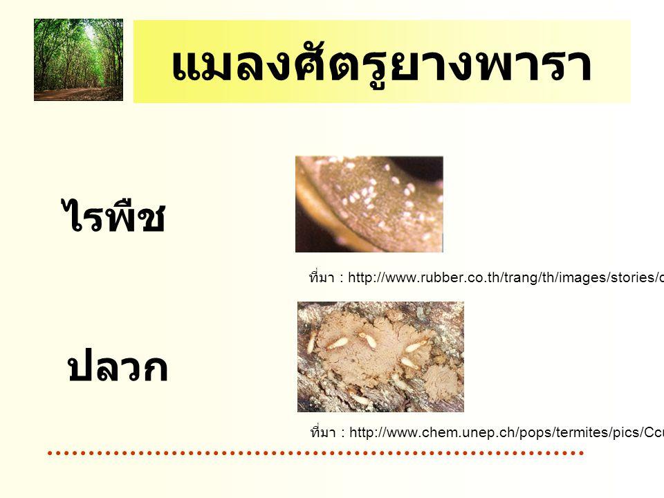 แมลงศัตรูยางพารา ไรพืช ปลวก