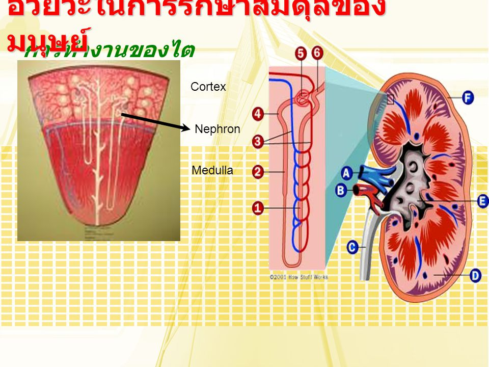 อวัยวะในการรักษาสมดุลของมนุษย์