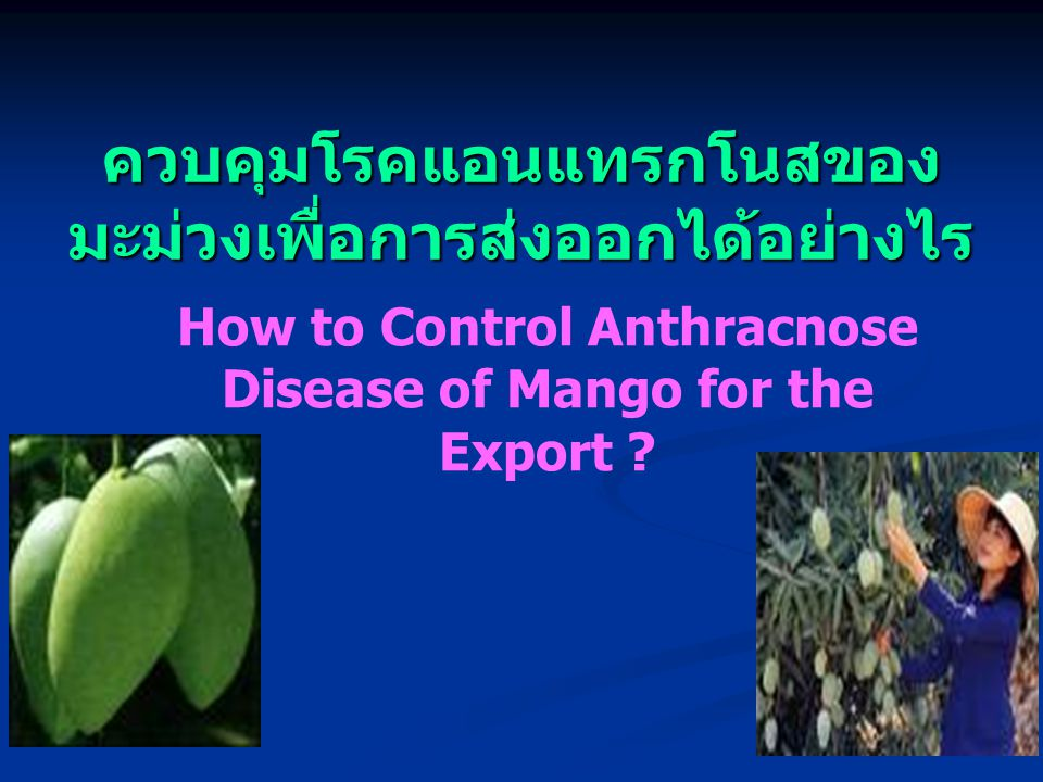 ควบคุมโรคแอนแทรกโนสของมะม่วงเพื่อการส่งออกได้อย่างไร