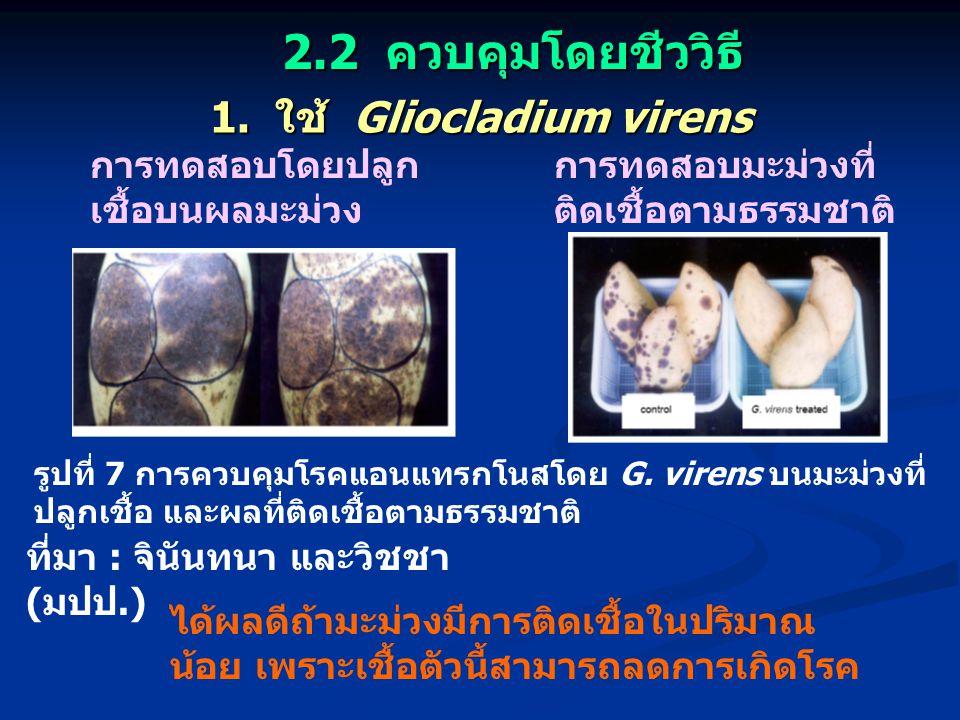 1. ใช้ Gliocladium virens