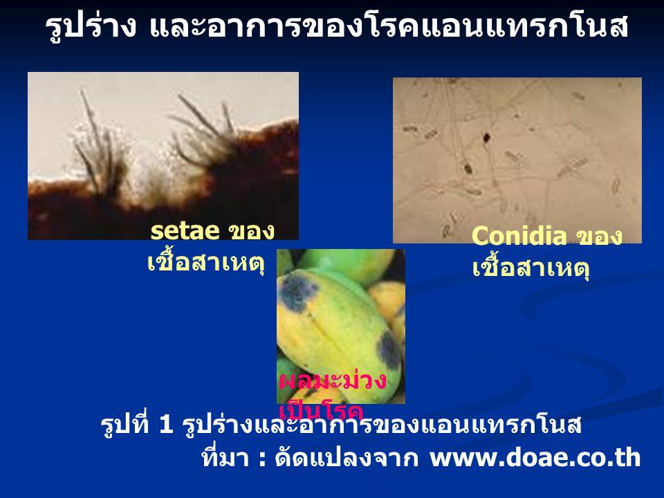 รูปร่าง และอาการของโรคแอนแทรกโนส