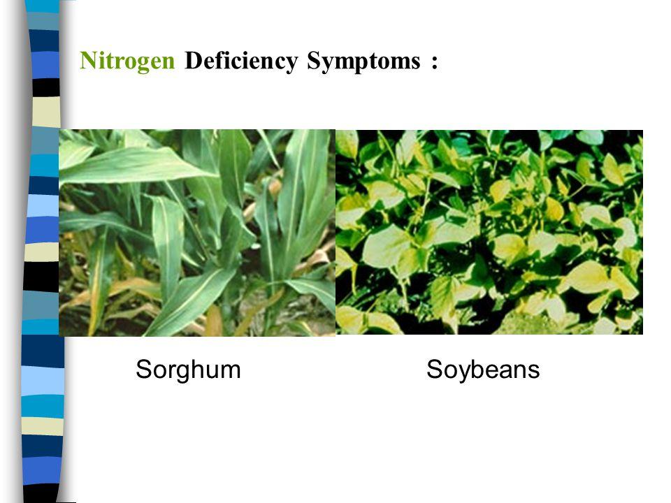 Nitrogen Deficiency Symptoms :