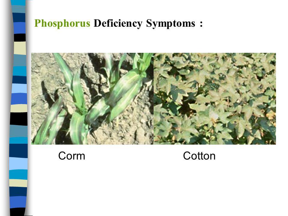 Phosphorus Deficiency Symptoms :