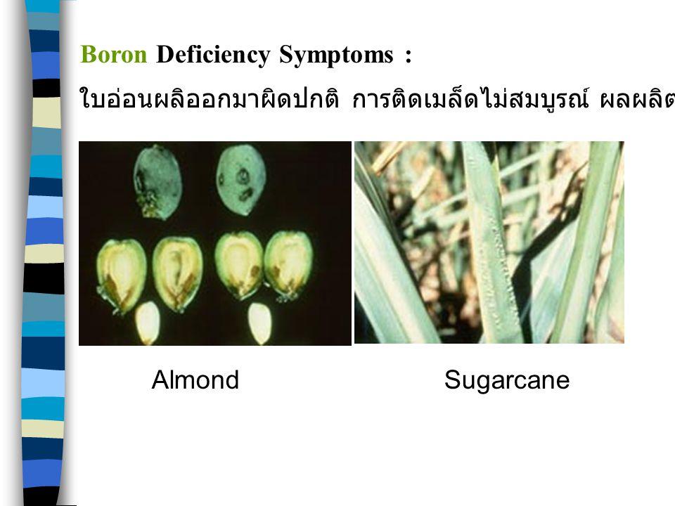 Boron Deficiency Symptoms :