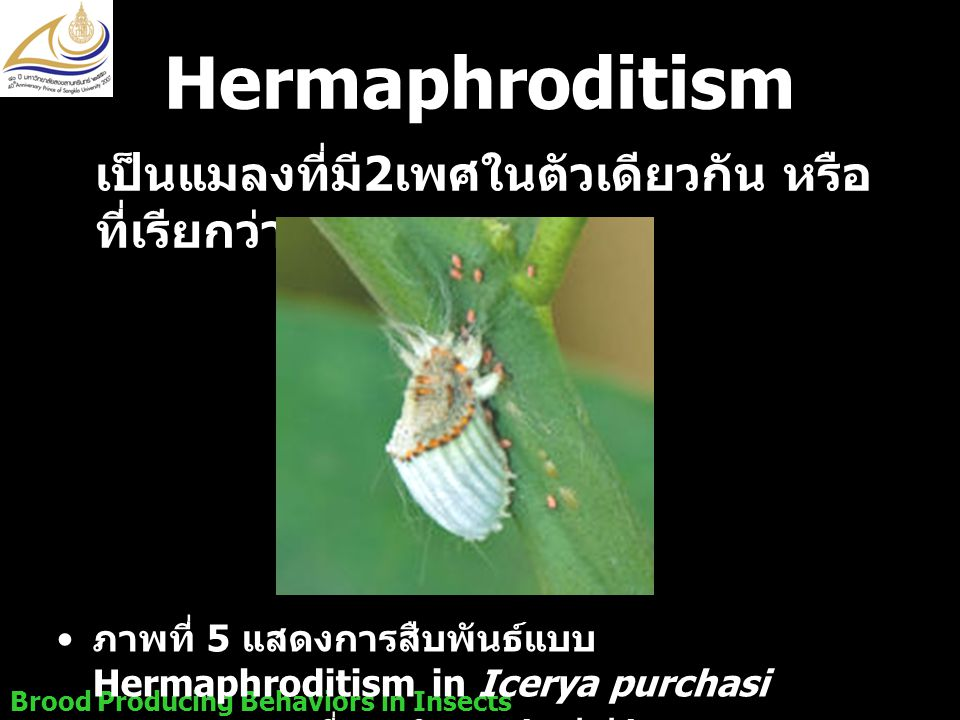 Hermaphroditism เป็นแมลงที่มี2เพศในตัวเดียวกัน หรือที่เรียกว่า เพศกะเทย. ภาพที่ 5 แสดงการสืบพันธ์แบบ Hermaphroditism in Icerya purchasi.