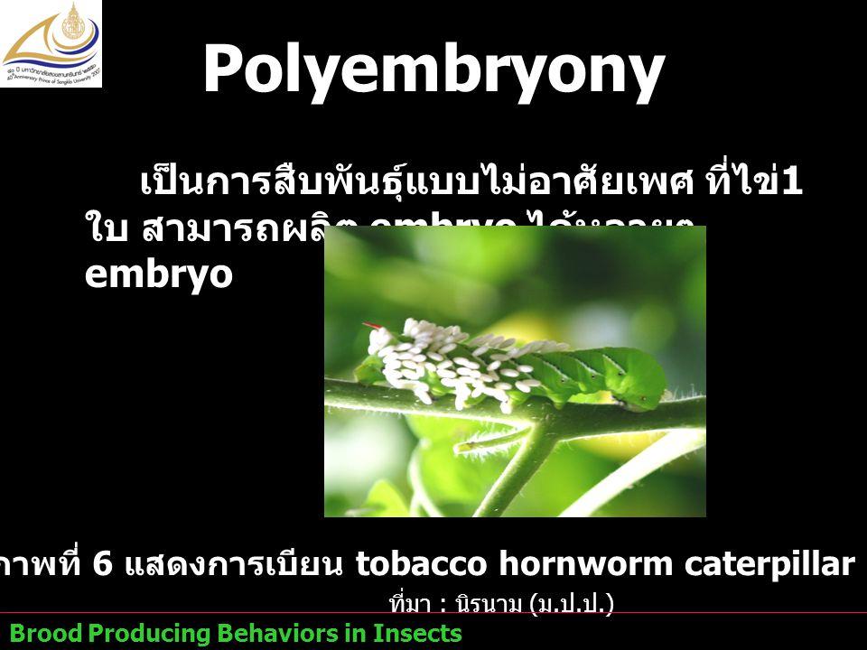 ภาพที่ 6 แสดงการเบียน tobacco hornworm caterpillar จากตัวต่อ