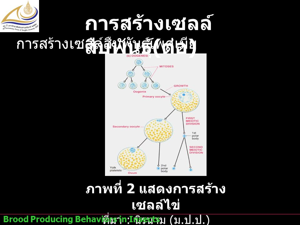 ภาพที่ 2 แสดงการสร้างเซลล์ไข่