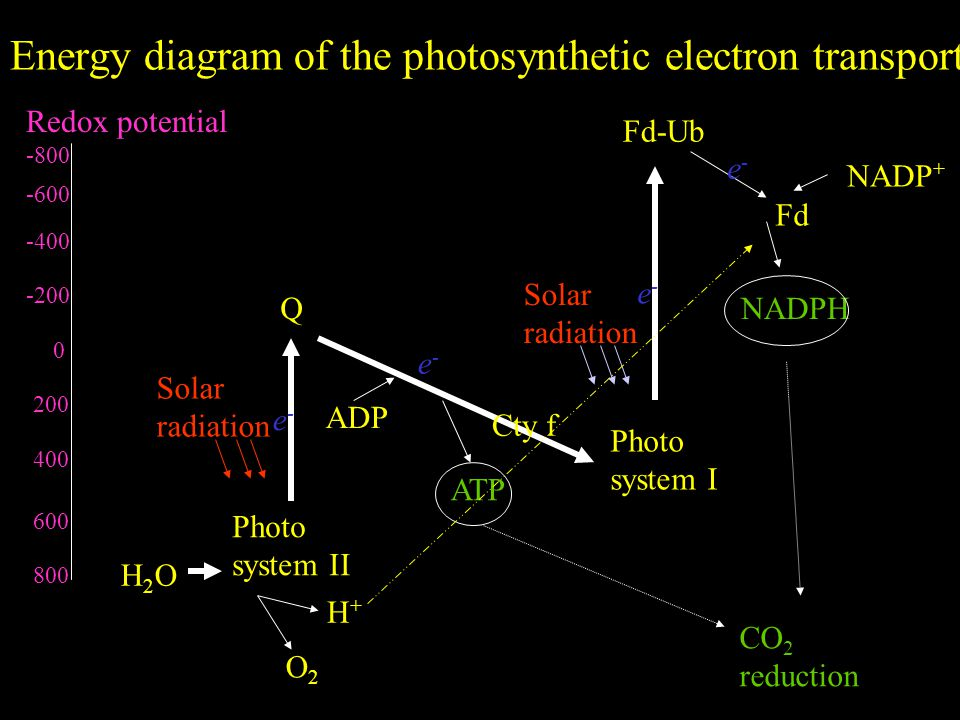 Energy diagram of the photosynthetic electron transport