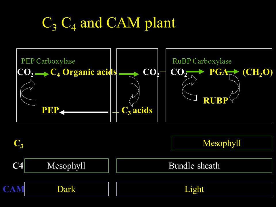 C3 C4 and CAM plant CO2 C4 Organic acids CO2 CO2 PGA (CH2O) RUBP PEP