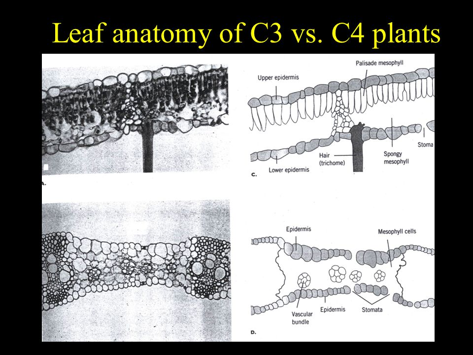 Leaf anatomy of C3 vs. C4 plants