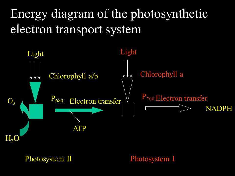 Energy diagram of the photosynthetic electron transport system