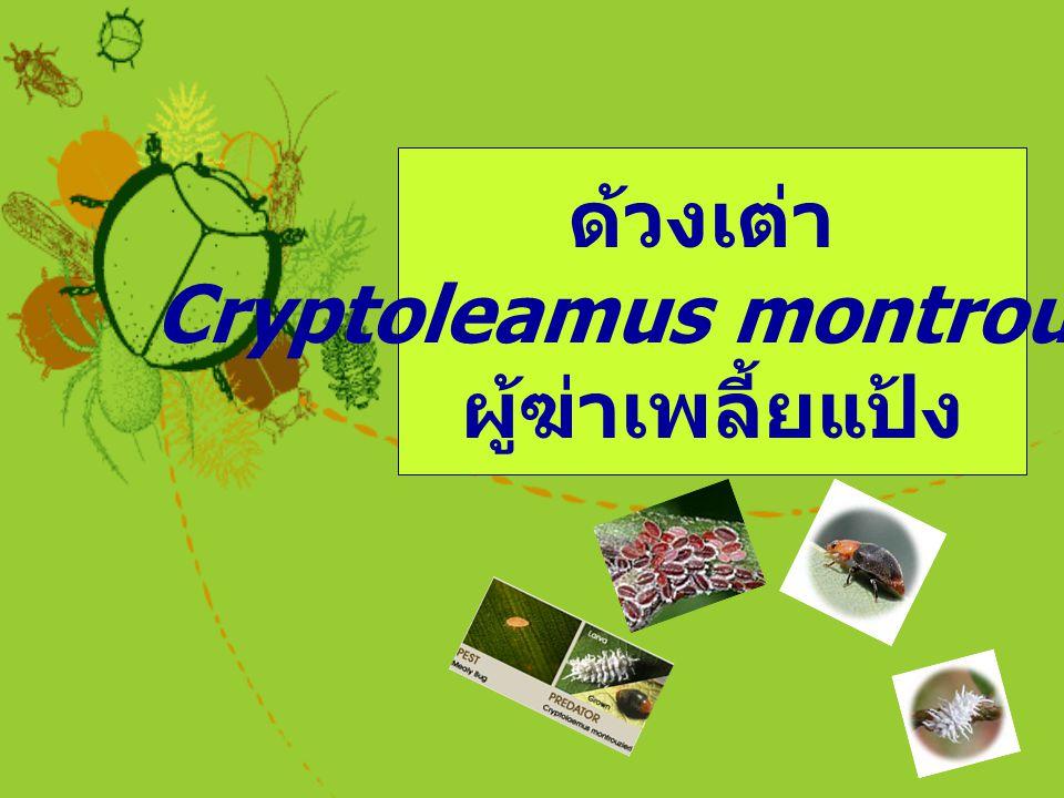 Cryptoleamus montrouzieri