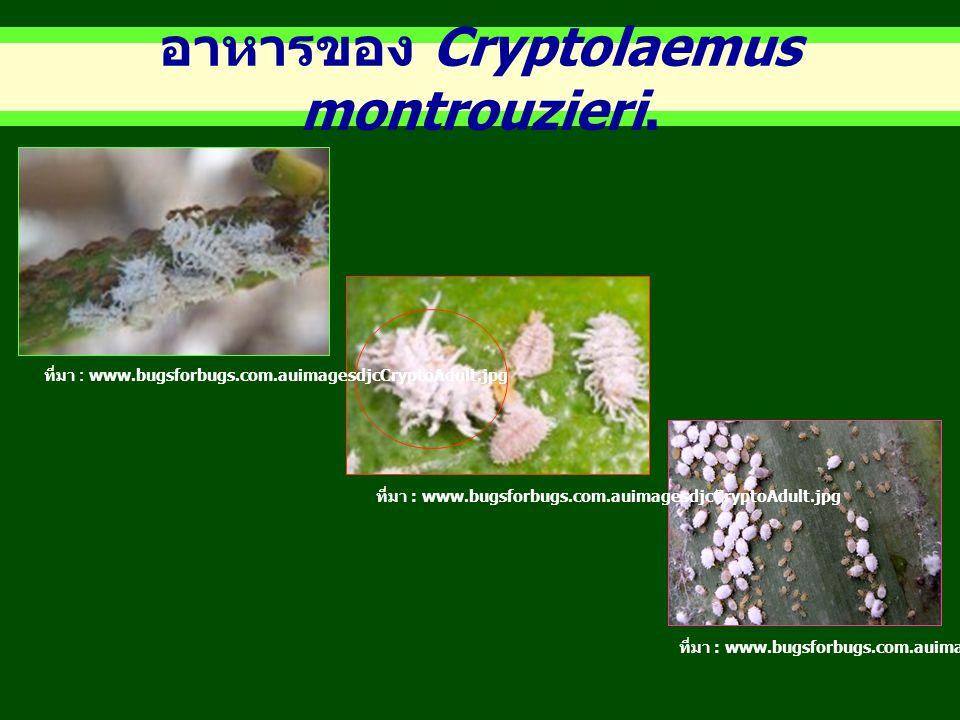 อาหารของ Cryptolaemus montrouzieri.